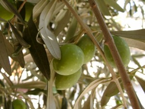 So pflegen Sie einen Olivenbaum | SchoenesZuhause.de