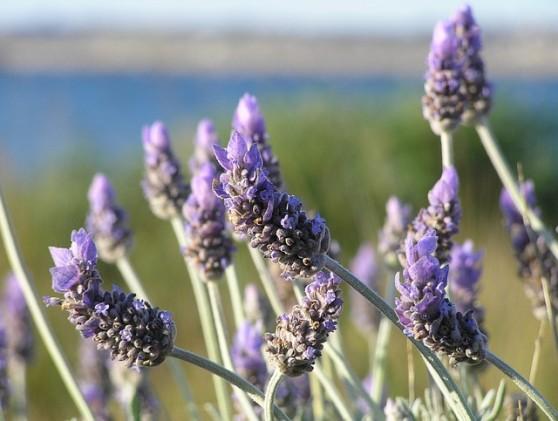 """Lavendel - PublicDomainPictures / <a href=""""http://pixabay.com/p-19235/"""">Pixabay</a>"""