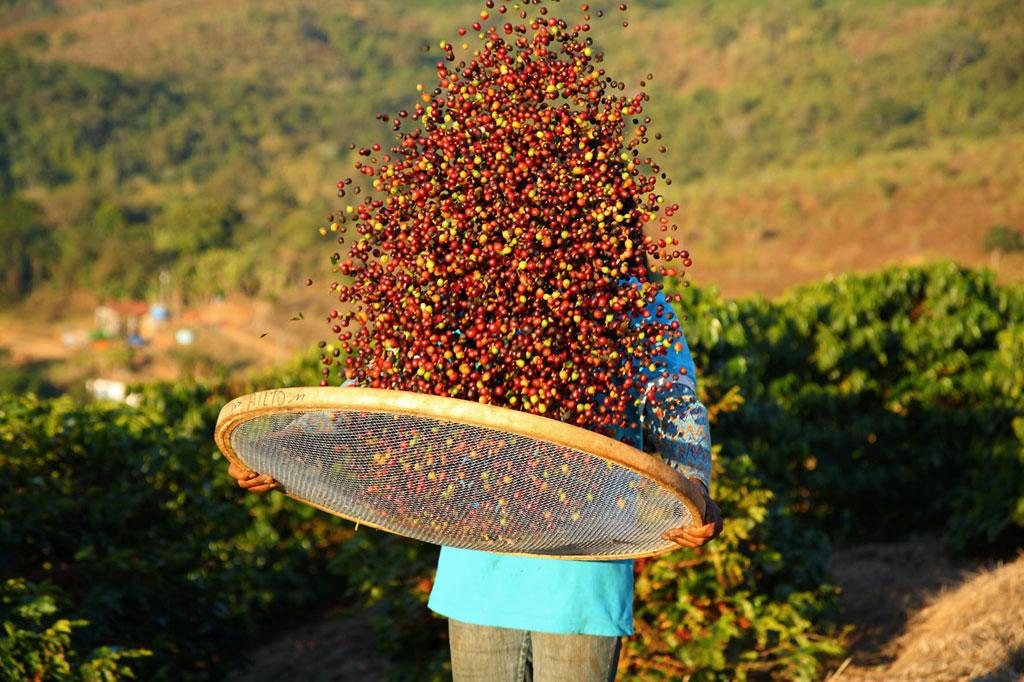 Bei den sogenannten Kaffeekirschen handelt es sich um die Früchte der Kaffee-Bäume. Ihren Kern bilden die eigentlichen Kaffeebohnen. Foto: djd/Rainforest Alliance
